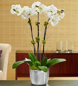Silver Celebration Orchid