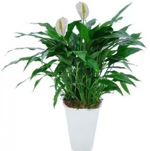 Serenity Spathiphyllum