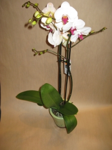 Double Spike Orchid