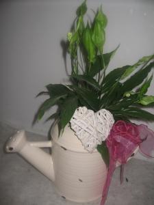 Spathiphyllum Deco