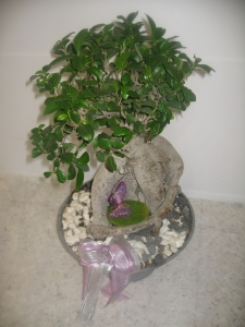 Big Ficus Bonsai