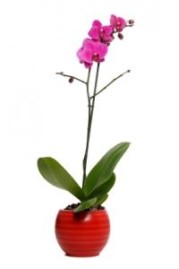 Prince Phalaenopsis Orchid