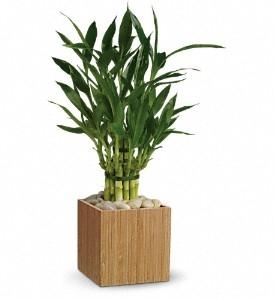 TF's Good Luck Bamboo