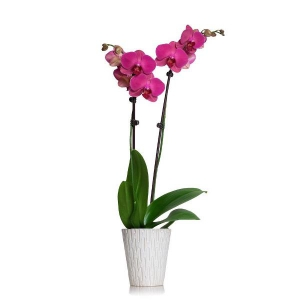 An Elegant Purple Orchid