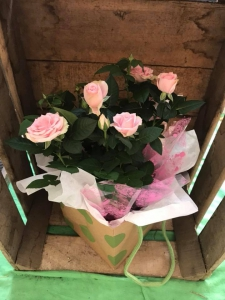 Pretty Pink Rose Plant