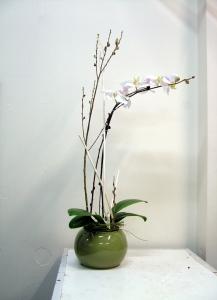 Exquisite Phalaenopsis