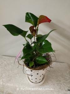 Anthurium Potted Plant
