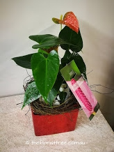 Anthurium In A Red Cube