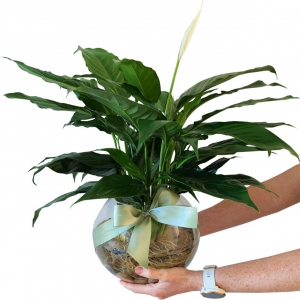 Hydro Peace Lily In Fish