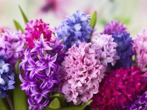 Fragrant Hyacinth Plant