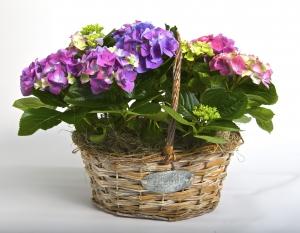 Hydrangea Plant Basket