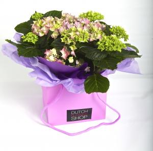 Hydrangea Plant In Bag