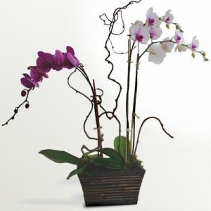 Orchids Phalenopris