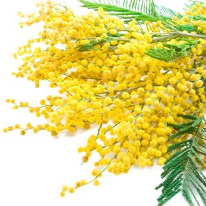 IT59 Bouquet Of Mimosa