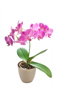 IT46 - Pink Orchid