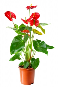IT47 - Red Anthurium
