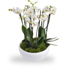 Terrine De Phalaenopsis