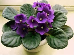 Plant African Violet