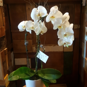 Double Phalenopsis Orchid