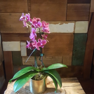 Medium Phalaenopsis Plant