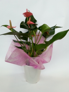 Gift Boxed Anthurium