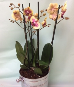 Phalanopsis Orchid