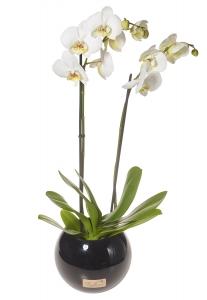 Phalaenopsis Orchid Globe