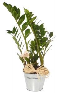 Zamiifolia House Plant