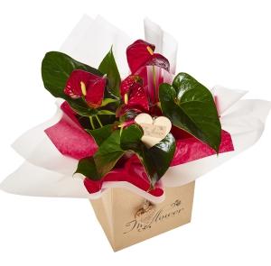 Anthurium Plant Gift
