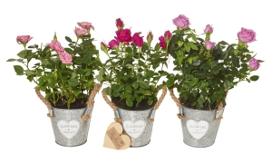 Trio Mini Rose Plant Gift