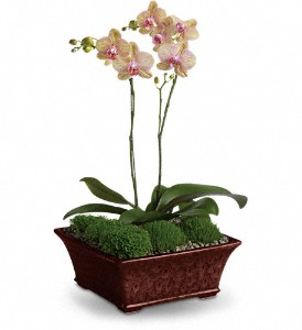 Orchid Arrrangement