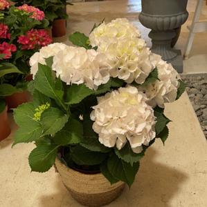 Hydraganea Plant