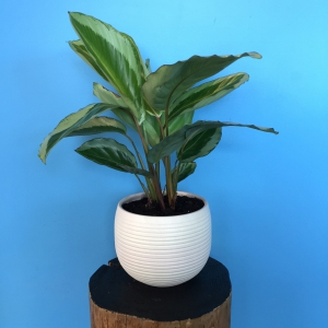 Easy Care House Plant.