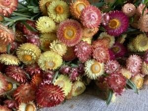 Bright Dried Strawflowers
