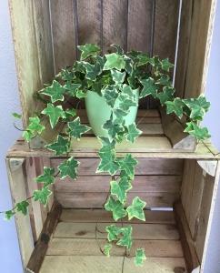 Trailing Ivy Plant
