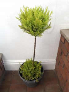 Ornamental Garden Tree