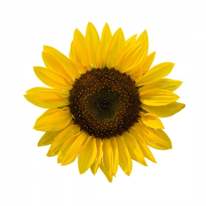 Sunflower (Single Stem)