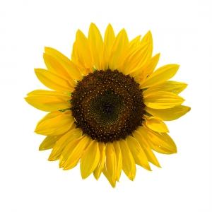 Sunflower (Single Stem)