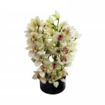 Order Cybedium Orchids flowers