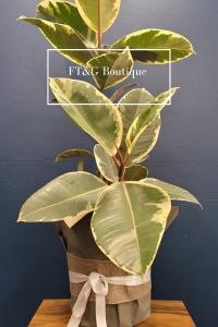 Verigated Rubber Plant