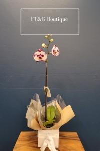 Purple/White Orchid Plant