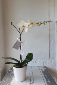 Phalaenopsis Orchid Plant