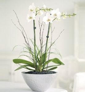 Planted Orchid