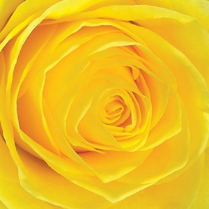 Yellow Rose Casket Spray