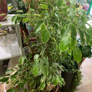 Weeping Fig, Ficus