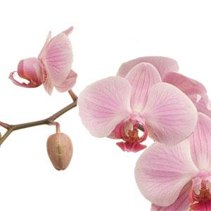 An Elegant Orchid