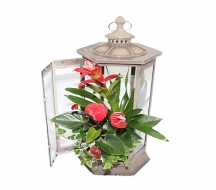 Anthurium In Lantern