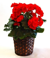 Blooming Begonia