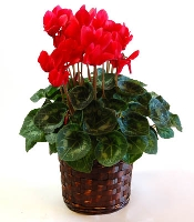 Blooming Cyclamen