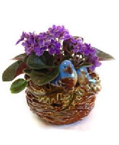 Bluebird Violet